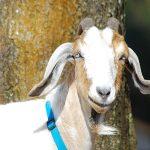 Ester The God Forsaken Goat