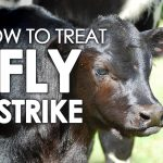 fly strike treatment