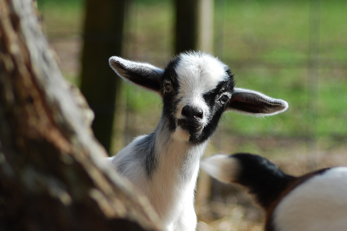 New-Goat-Kid