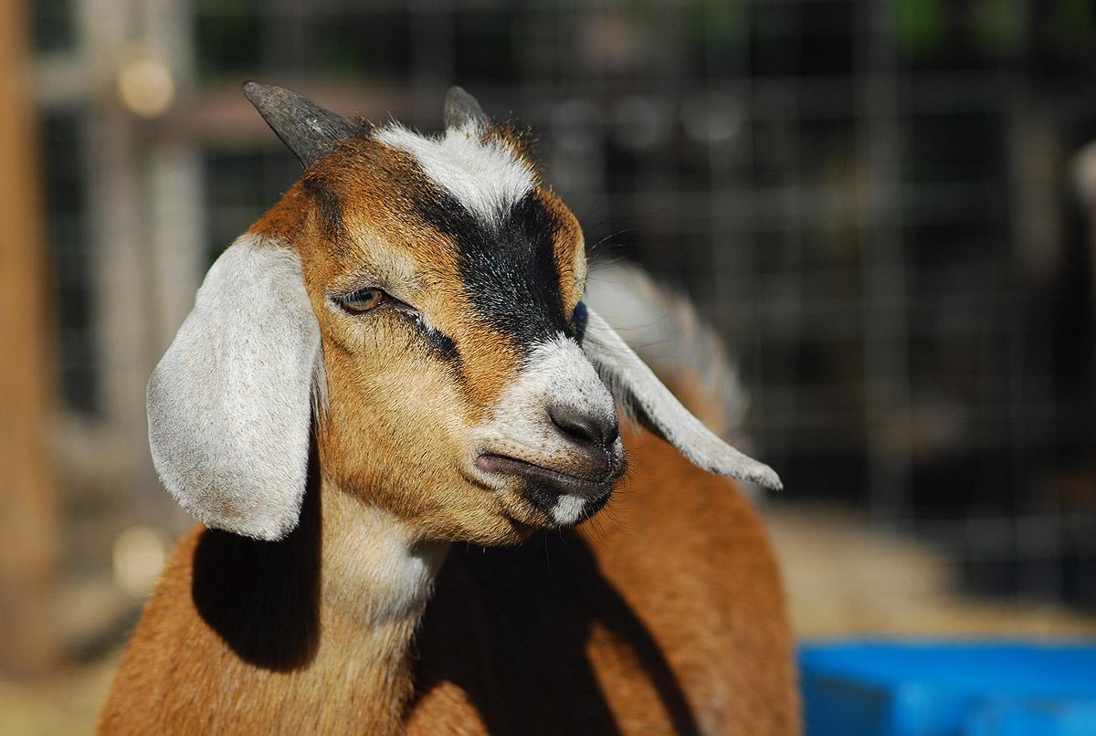 Nubian Goat Buckling